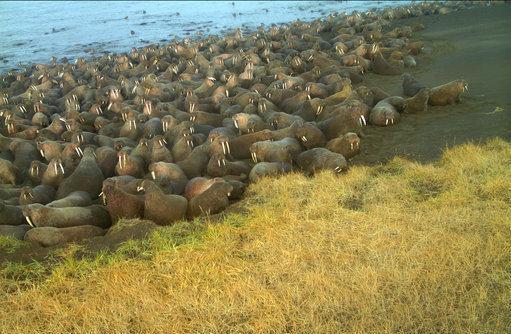 64只海象死在海灘上