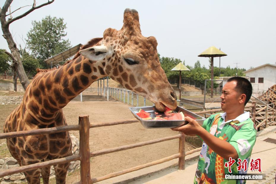 饲养员喂长颈鹿吃西瓜.西安秦岭野生动物园 供图