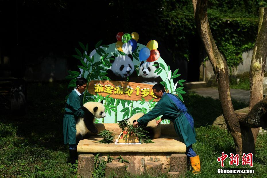 7月11日,重庆杨家坪动物园为双胞胎大熊猫举办一周岁生日会,并邀请