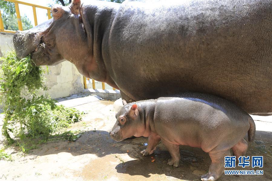 """7月11日,济南动物园刚满月的小河马与妈妈""""鲁艳""""一起走出笼舍."""