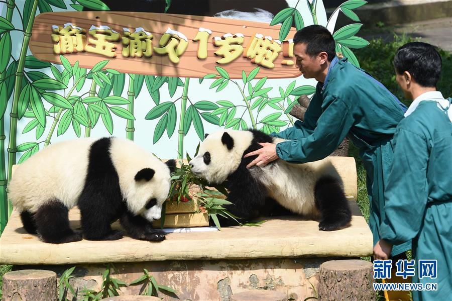 7月11日,重庆动物园双胞胎大熊猫渝宝渝贝在吃生日蛋糕。   当日,重庆动物园为双胞胎大熊猫渝宝渝贝举办1岁生日会。渝宝渝贝是重庆动物园大熊猫兰香于2016年7月11日顺利产下的龙凤胎,这也是该园繁殖大熊猫双胞胎首次双双成活。通过全球征名活动,这对大熊猫龙凤胎得名渝宝渝贝。   新华社记者 唐奕 摄