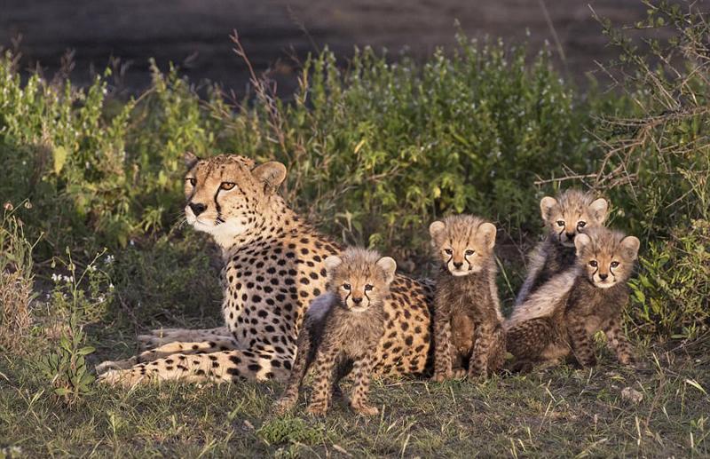 矩地坐在猎豹妈妈的怀里,眼神里表现出对其他三只兄弟姐妹行为的不解.