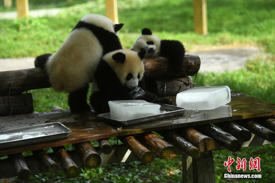7月18日,重庆持续高温天气,杨家坪动物园工作人员为大熊猫送冰块消暑.