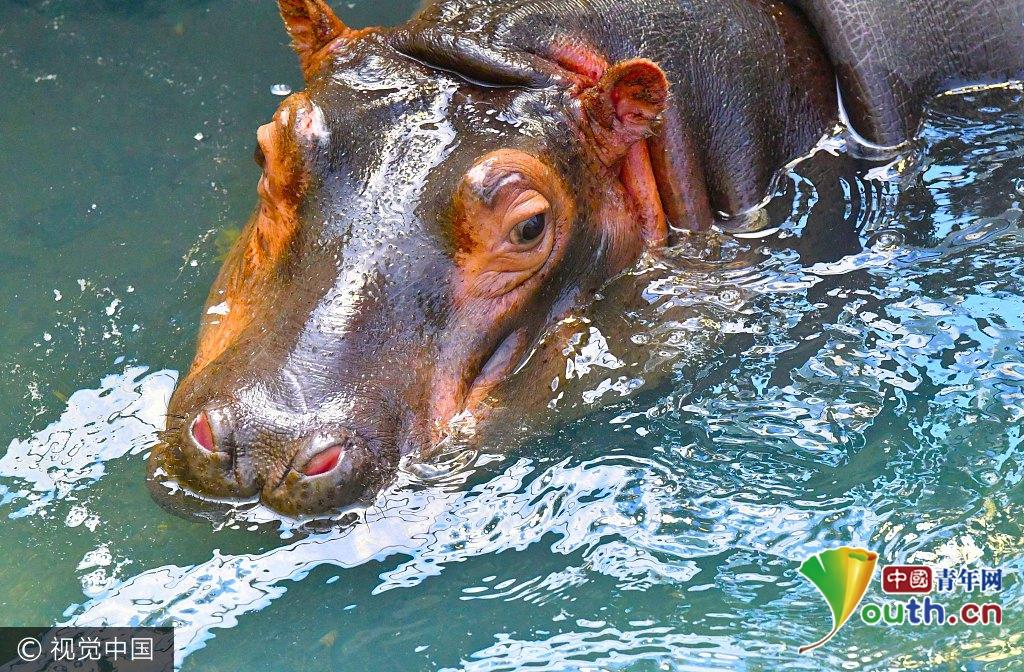 2017年7月20日,安徽省亳州曹操公园动物园里,饲养员给河马放水纳凉.