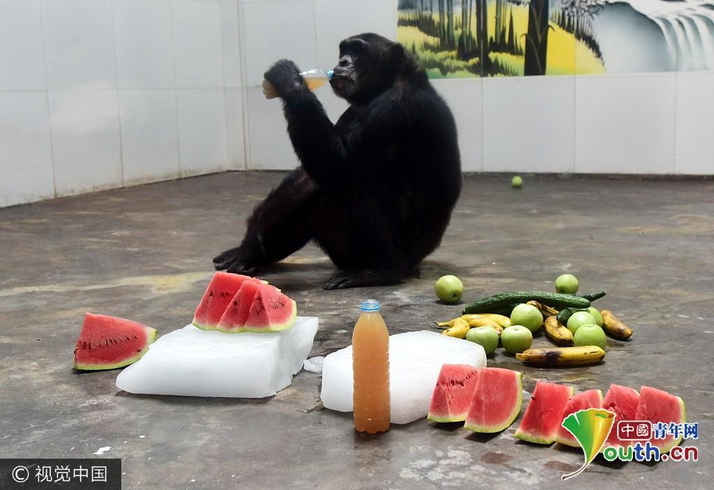西安秦岭野生动物园帮助动物们防暑降温.猩猩喝蜂蜜