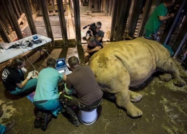 疯狂动物园犀牛怎么捉