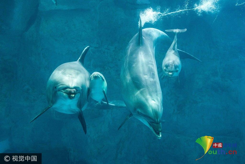 长沙海底世界喜添两只海豚宝宝 游伴父母身边俏皮可爱