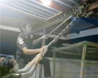 4米巨蟒缠在民宅梁上 救援队竭力抓捕