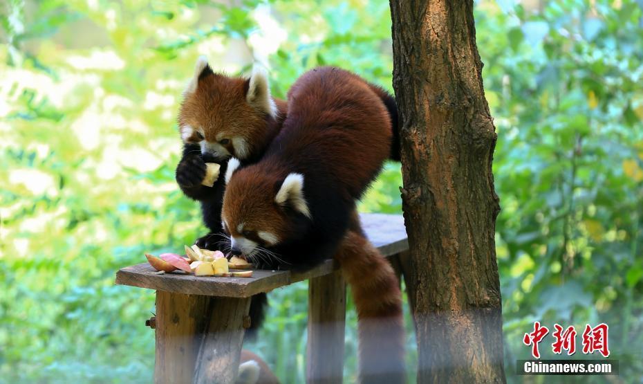 连日出现晴热高温天气,武汉动物园动物防暑降温工作也全面启动:开空调
