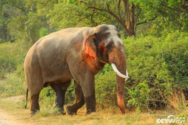 印度现红耳大象 耳朵奇特自带娇羞