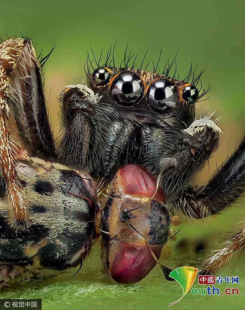 西班牙摄影师微距拍跳蛛 四只眼睛似外星生物
