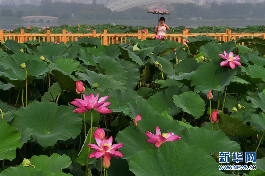 8月6日,一名游客在唐山市南湖公园用手机拍摄荷花.