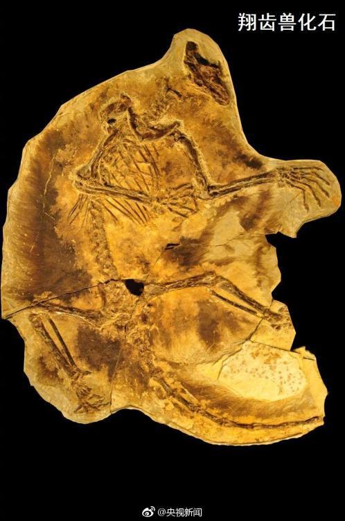 8月10日,北京自然博物馆、美国芝加哥大学和河北地质大学国际合作团队宣布:我国辽宁和河北两省距今约1.6亿年的晚侏罗世地层中,发现两种最原始的滑翔哺乳型动物化石:祖翼兽和翔齿兽。专家推断它们是已具有飞行能力的树栖属种。 央视记者 张昕 图片来源:央视新闻官方微博