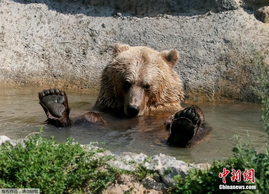 当地时间2017年8月15日,乌克兰日托米尔州,5只被从马戏团,私人动物园