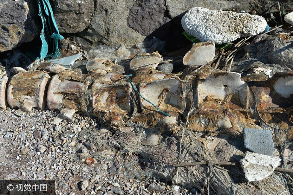 青岛一海滩现巨型生物遗骸
