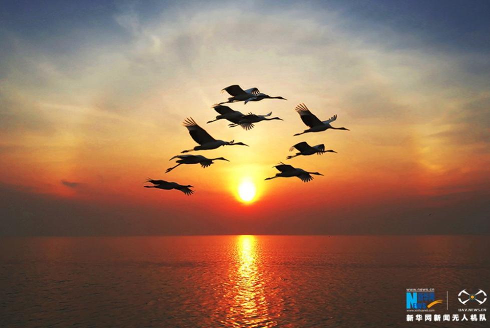 夕阳下,一群丹顶鹤飞过水面.新华网 陈国远摄