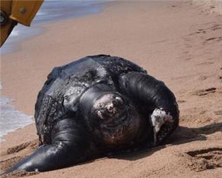 巨型海龟误食塑料垃圾死亡 体重达700公斤