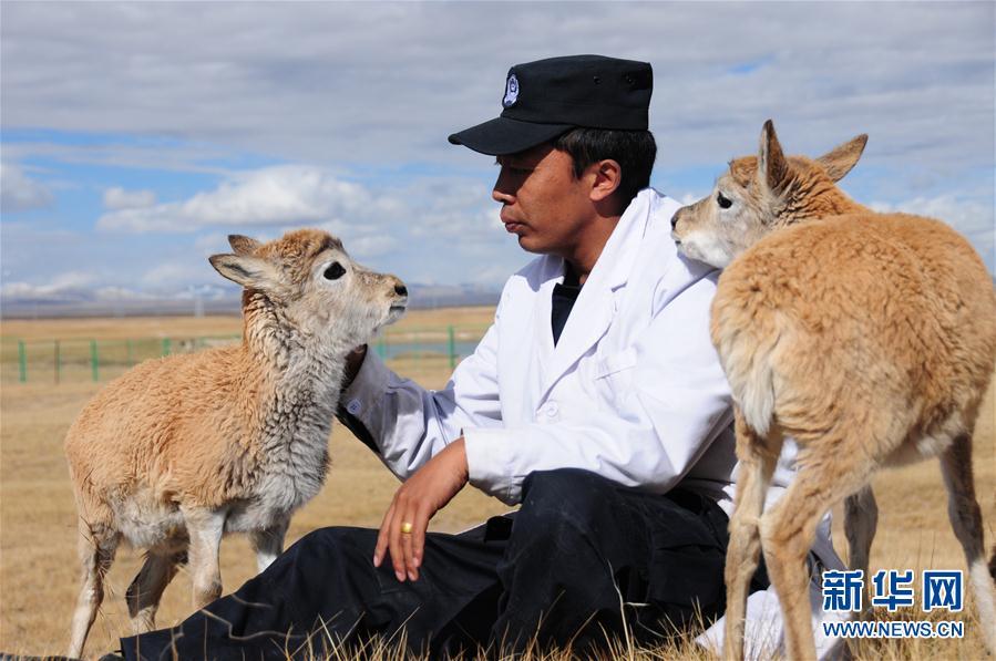 9月27日,索南达杰保护站野生动物救助中心的工作人员和藏羚羊幼羚在一起。可可西里是藏羚羊的重要栖息地。每年夏季,藏羚羊会迁徙至卓乃湖等地区产羔。7月底,雌羊开始携带幼崽返回原栖息地,往返迁徙行程可达600余公里。迁徙期间,由于躲避天敌猎杀等原因,幼羚有与羊群失散的风险。今年7月,可可西里国家级自然保护区管理局工作人员将8只幼羚从卓乃湖边带至索南达杰保护站野生动物救助中心。其中1只因为体弱等原因未能存活,剩余7只目前一切健康。据工作人员介绍,最初的一段时间里,工作人员一天喂幼羚三次牛奶,之后会将其带到
