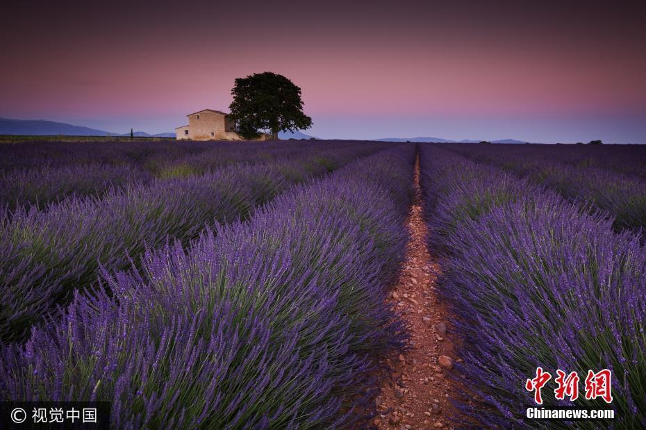 视觉盛宴 法国普罗旺斯千亩薰衣草化身紫色花海