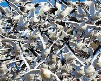 数千只雪雁起飞觅食 浩浩荡荡