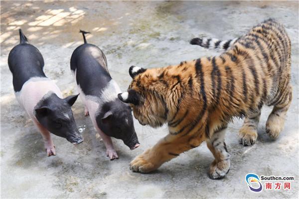 深圳野生动物园的一群小猪闯入东北虎笼舍,不但没入虎口,还共谱了一段