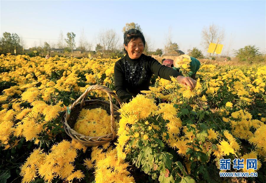 安徽全椒:科技护航 菊农增收