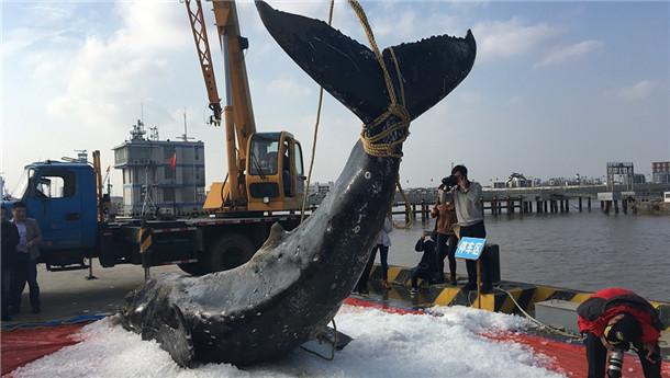 江苏启东三次搁浅三次被救援 座头鲸已确认死亡