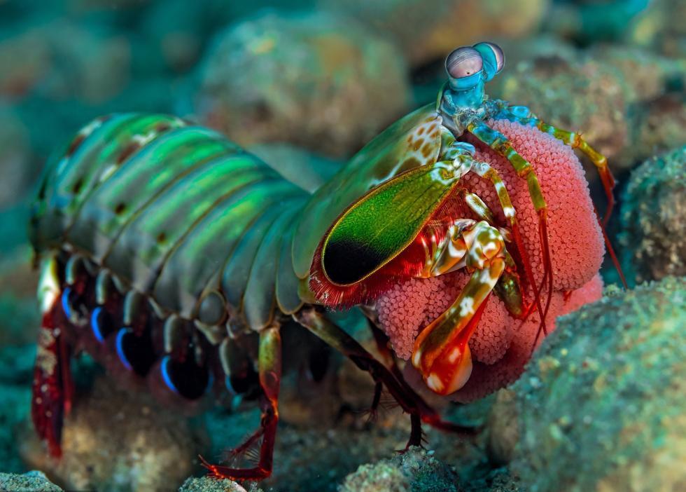 摄影师拍摄皮皮虾产卵 虾妈妈怀抱虾卵