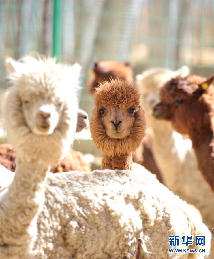 拉萨曲水动物园内饲养的羊驼(11月23日摄)。   西藏自治区拉萨市的曲水动物园饲养着来自世界各地的动物,是市民休闲和接受科普的好去处。为了让在这里安家的外来动物适应拉萨的高原环境,动物园搭建了带有制氧、控温、增湿等设备的豪华住所。