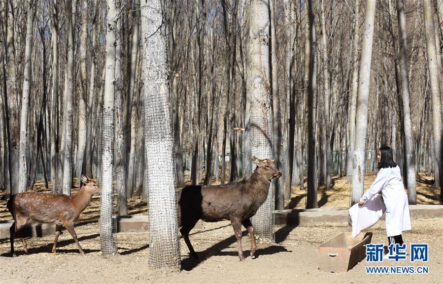 曲水动物园工作人员次吉在给梅花鹿投放饲料(11月23日摄)。   西藏自治区拉萨市的曲水动物园饲养着来自世界各地的动物,是市民休闲和接受科普的好去处。为了让在这里安家的外来动物适应拉萨的高原环境,动物园搭建了带有制氧、控温、增湿等设备的豪华住所。