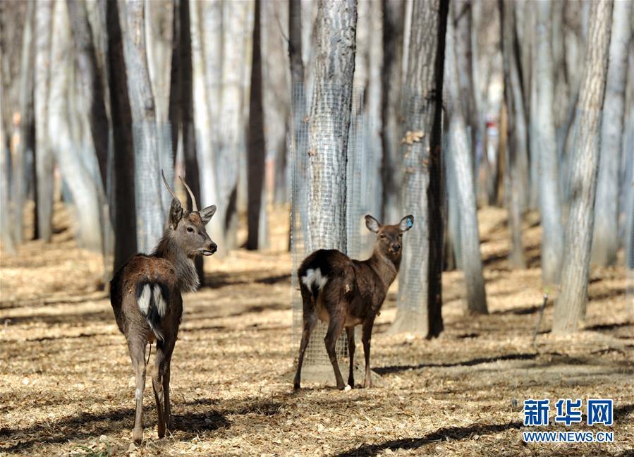 拉萨曲水动物园内饲养的鹿(11月23日摄)。   西藏自治区拉萨市的曲水动物园饲养着来自世界各地的动物,是市民休闲和接受科普的好去处。为了让在这里安家的外来动物适应拉萨的高原环境,动物园搭建了带有制氧、控温、增湿等设备的豪华住所。   新华社记者 张汝锋 摄