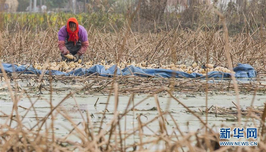 江苏省海安县墩头镇地处里下河洼地,境内河道纵横,当地政府引导农民