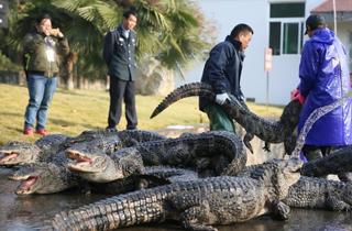 10天徒手抓捕上万条鳄鱼.png