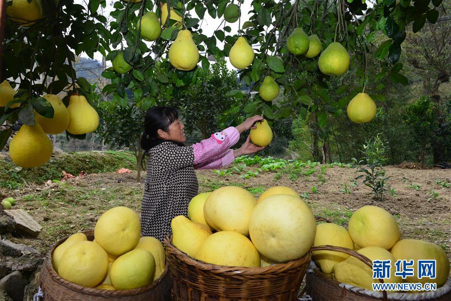 #(社会)(1)贵州岑巩思州柚丰收