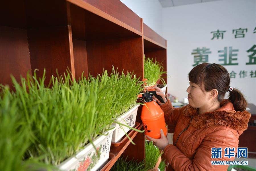 (经济)(1)河北南宫:寒冬黄韭俏市场