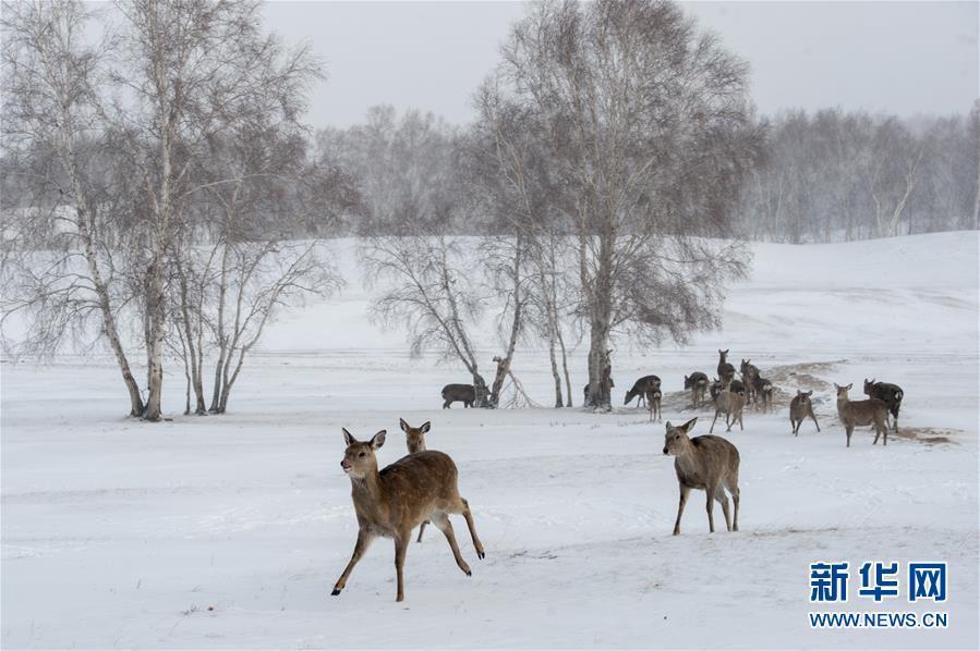 #(环境)(1)雪原鹿影