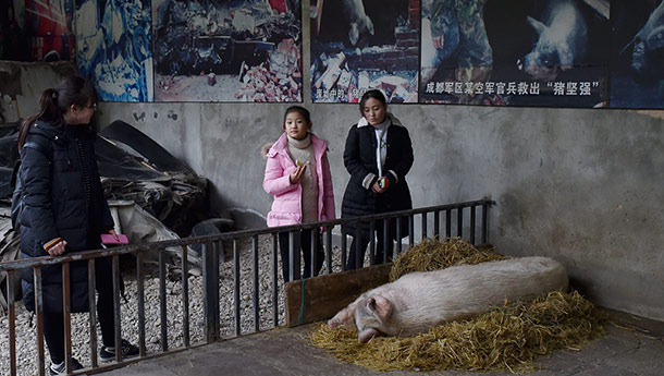 """汶川地震""""猪坚强""""无法站立-众多游客前来探望.jpg"""
