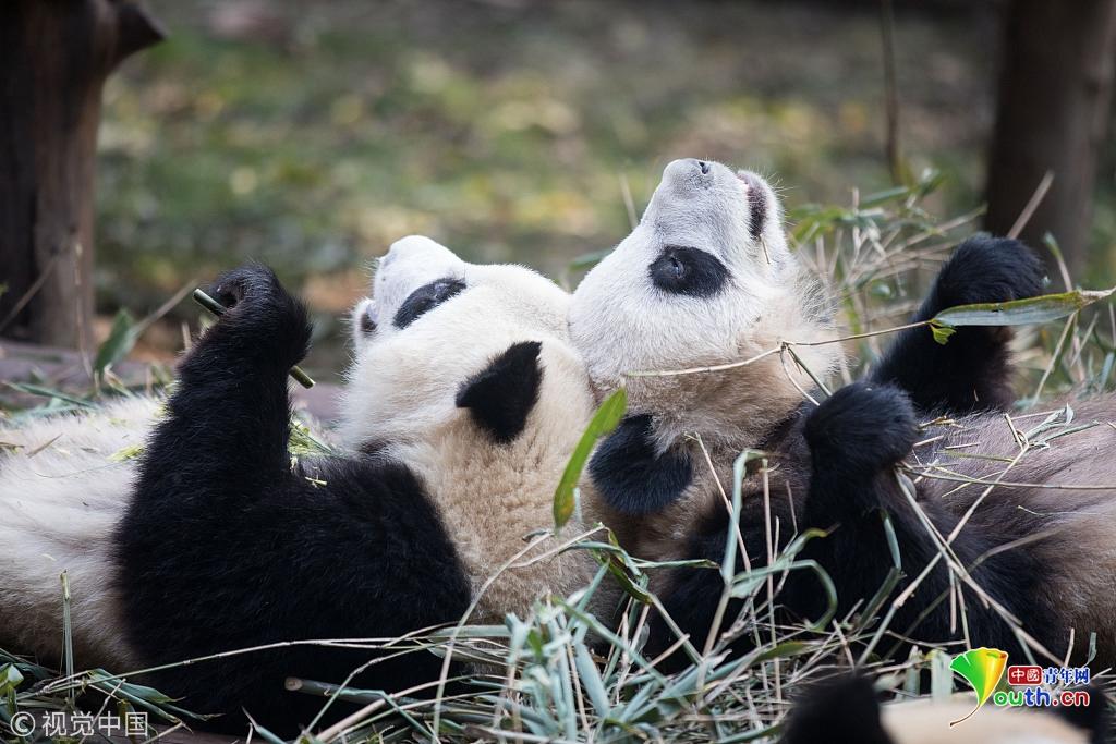 """温馨甜蜜!两只大熊猫头靠头吃竹子""""秀恩爱"""""""