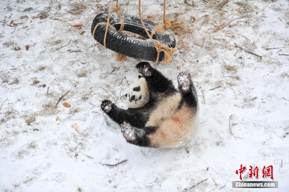 """沈阳森林动物园""""功夫熊猫""""雪中显身手"""