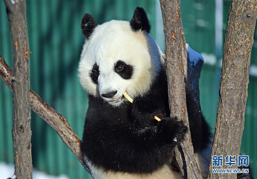 1月9日,沈阳森林动物园的大熊猫在雪中嬉戏玩耍,享受雪趣.
