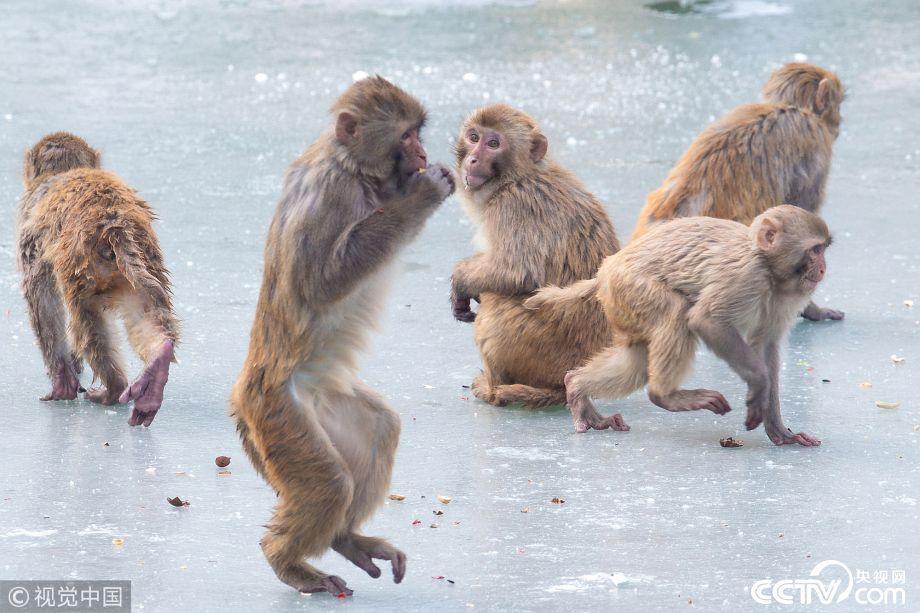 2018年1月30日,南京,降雪过后,南京红山森林动物园里的猴子们在冰面上