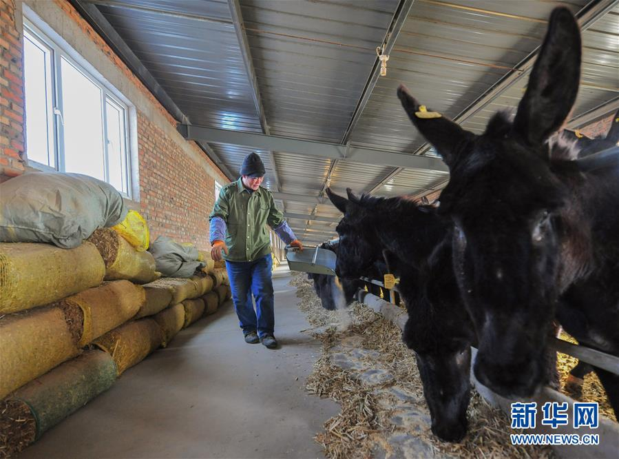 (社会)(1)内蒙古赤峰:养驴脱贫 增收致富