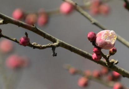 扬州瘦西湖红梅怒放迎春