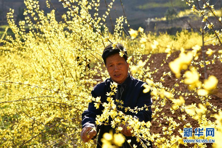(走基层 听民声)(5)河南卢氏:连翘种植助农增收