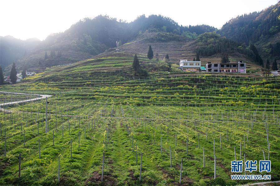 这是云南省昭通市威信县庙沟乡扎实沟村的猕猴桃种植基地一景(3月29