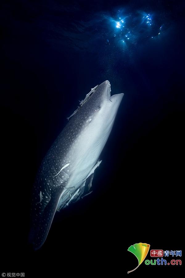 鲨血浴囹�a_马尔代夫海域深藏鲨与鱼 受伤鲸鲨张\