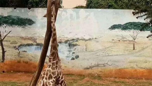 动物园长颈鹿头部卡在树上不幸死亡.jpg