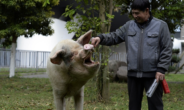 汶川地震十周年猪坚强依然坚强 每天坚持遛弯两次