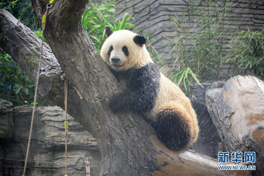 动物园大熊猫淋浴享清凉