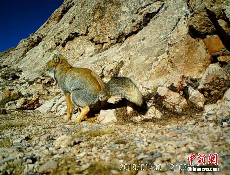 西藏藏北监测到雪豹等珍稀野生动物影像